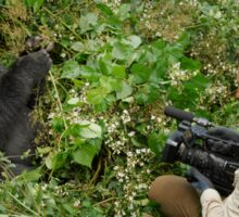 tourist is filming a mountain gorilla Sticker