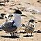 Terns or Seagulls