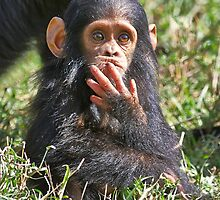 newborn Common Chimpanzee by travel4pictures