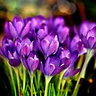 The Crocus Family by LudaNayvelt