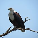 African Fish Eagle by Elizabeth Kendall