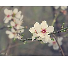 Almond flowers Photographic Print