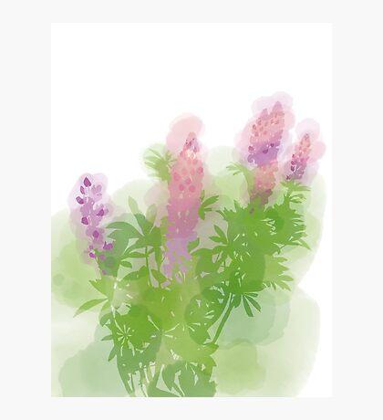 Watercolour Lupinus Photographic Print