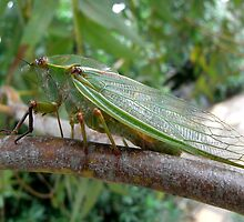 Cicada on Eucalypt by Trish Meyer