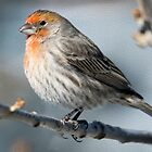 Finch in the cold by Greg Birkett
