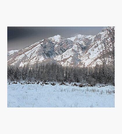 Elk In the Meadow Photographic Print