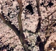 Sakura - Cherry Blossom - Kyoto Sticker
