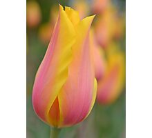 Pink and Yellow Tulip Photographic Print