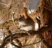 Red Squirrel Posing for Photo by Thomas Mckibben
