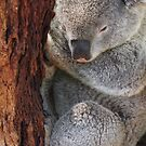 Sleeping Koala 2 by fab2can