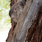Curious Koala by fab2can