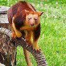 Tree Kangaroo on log by fab2can