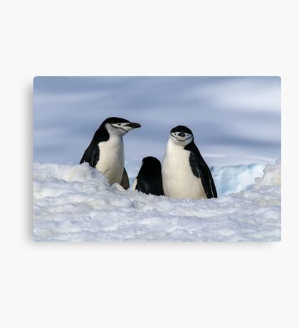 Antarctic Locals Canvas Print