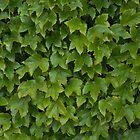 Ivy by Morag Anderson