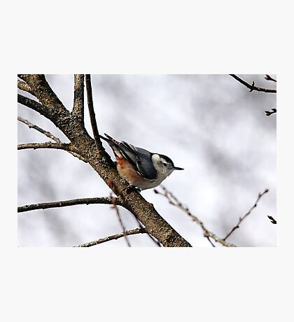 Perched Nuthatch Photographic Print