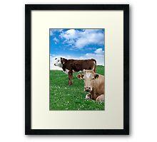 Irish cattle feeding on the green grass Framed Print