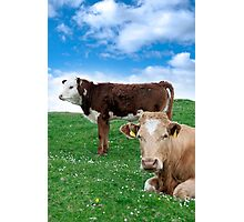 Irish cattle feeding on the green grass Photographic Print