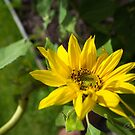 Little Sunflower by Clare Colins
