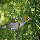 Tiny little Silvereye on a Carrot stalk by Clare Colins