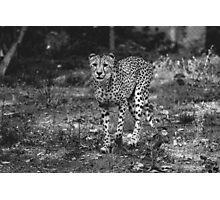 BW Cheetah Photographic Print