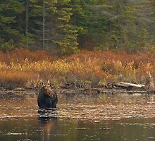 Moose on Wolf Howl Pond - Algonquin Park, Canada by Jim Cumming