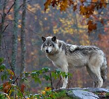 Timber Wolf by Jim Cumming