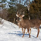 White-tailed deer buck and fawn in the winter snow by Jim Cumming