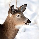 White-tailed deer buck in the winter snow by Jim Cumming