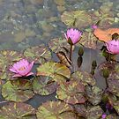 Hong Kong water lillies by Courtney Taylor