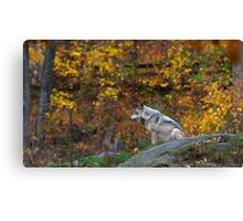 Lone Wolf - Timber Wolf Canvas Print
