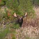Bull Moose in Algonquin Park, Canada by Jim Cumming