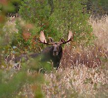 Bull Moose in Algonquin Park, Canada by Jim Cumming