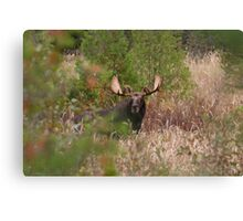 Bull Moose in Algonquin Park, Canada Canvas Print