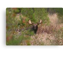 Bull Moose in Algonquin Park, Canada Canvas Print