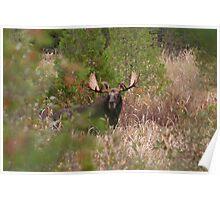 Bull Moose in Algonquin Park, Canada Poster
