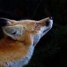 Fox Art, Algonquin Park, Canada by Jim Cumming