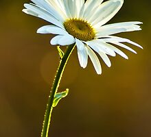 Big White Daisy by BLaskowsky