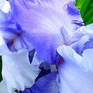 Iris folds by MarianBendeth