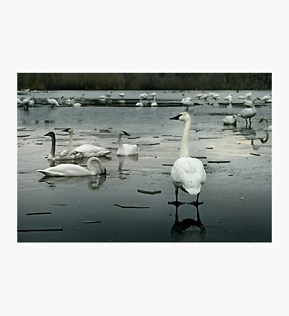 Trumpeter Swans of Heber Springs, AR - 1 Photographic Print