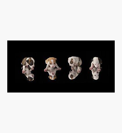 Pit-Bull puppies Photographic Print