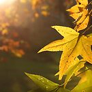 Sweet Gum in Late Autumn Sun by Kent Nickell