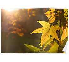Sweet Gum in Late Autumn Sun Poster