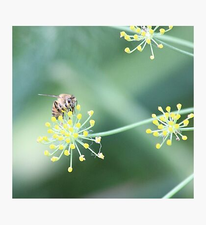 Bee  and the fennel Photographic Print