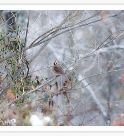 Winter Cardinal Sticker