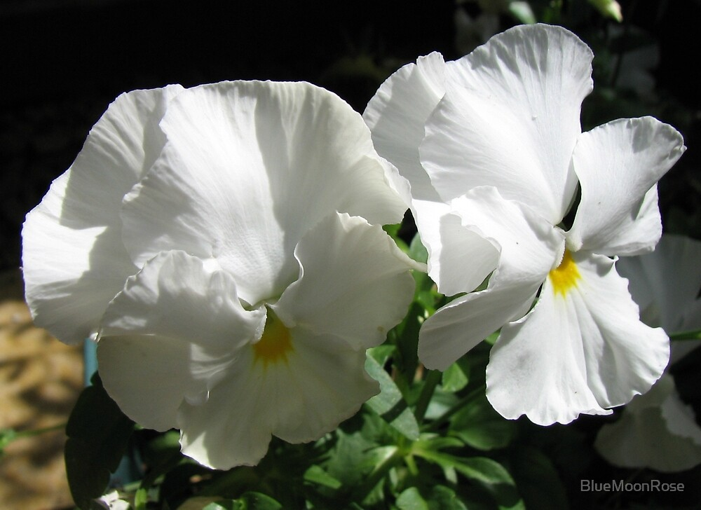 Little Angels - Pansies in White Dresses  by BlueMoonRose