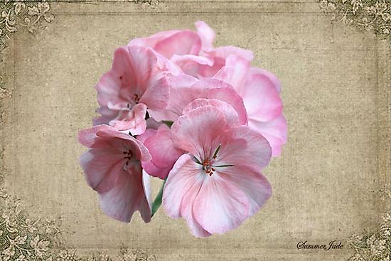 Geranium ~ Grandmother's Favorite by SummerJade