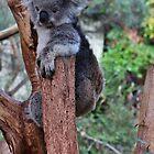 Koala by Jeanette Varcoe.