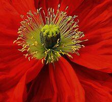 Poppy. by Jeanette Varcoe.