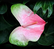 The Anthurium Flower ~ A History by SummerJade