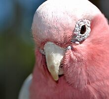 Galah by Deborah Clearwater